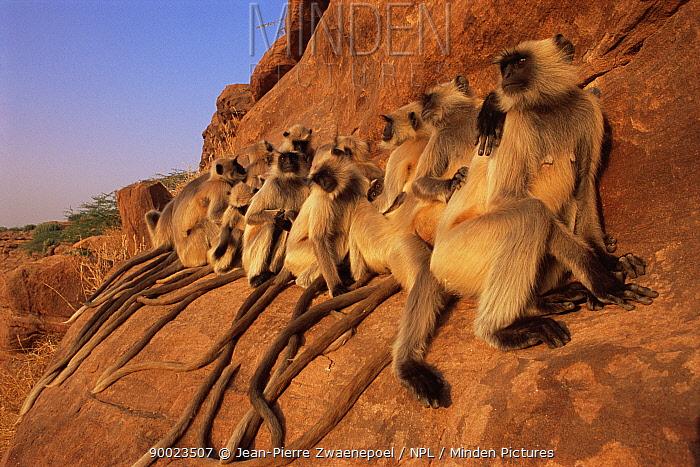 Hanuman langur (Presbytis entellus) group sunning on rock, Thar desert, Rajasthan, India  -  Jean-pierre Zwaenepoel/ npl