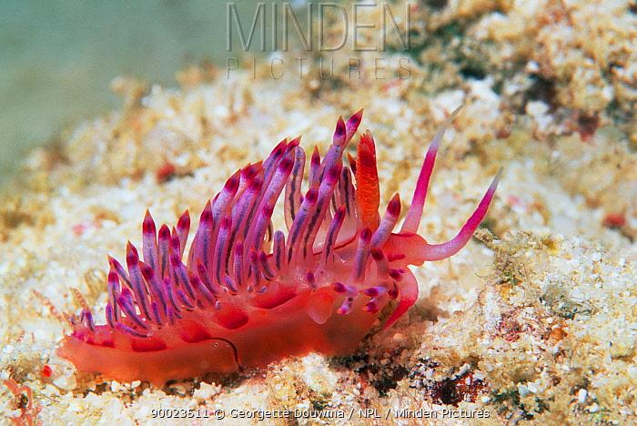 Nudibranch (Flabellina rubolineata) Mabul, Malaysia Indo-Pacific  -  Georgette Douwma/ npl