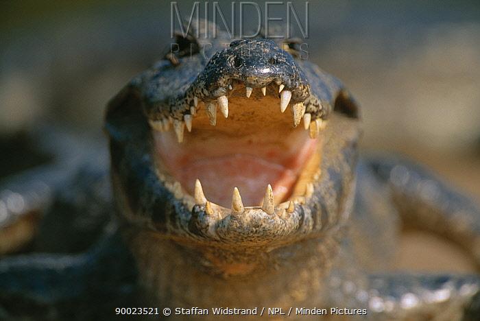 Jacare Caiman (Caiman yacare) with mouth open,  Pantanal,  Brazil  -  Staffan Widstrand/ npl