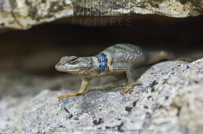 Crevice Spiny Lizard (Sceloporus poinsetti) Hill Country, Texas  -  Rolf Nussbaumer/ npl