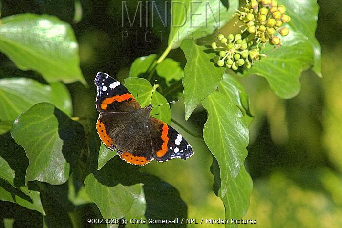 Red Admiral (Vanessa atalanta) nectaring on ivy flower (Hedera helix) Bedfordshire, England  -  Chris Gomersall/ npl