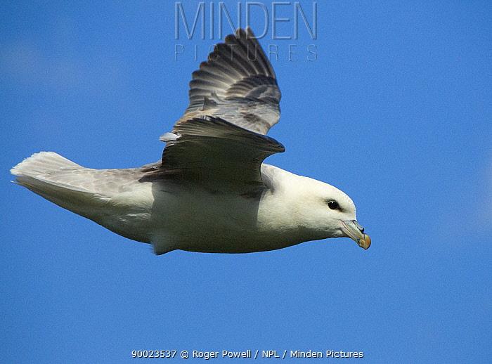 Northern Fulmar (Fulmarus glacialis) in flight, Caithness, Scotland United Kingdom  -  Roger Powell/ npl