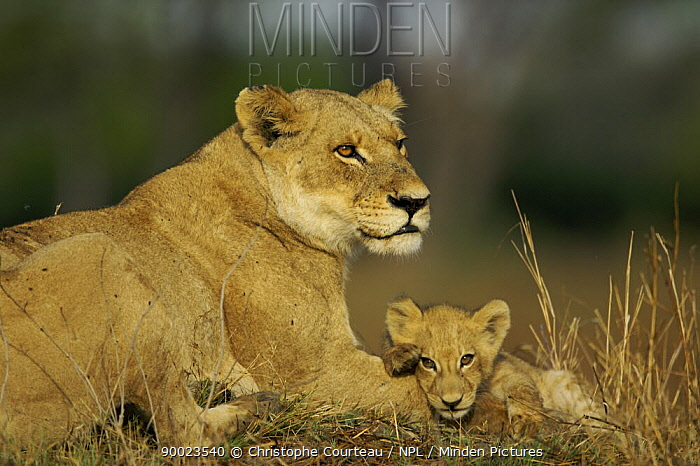 African Lion (Panthera leo) cub resting on the arm of adult lioness, Botswana  -  Christophe Courteau/ npl