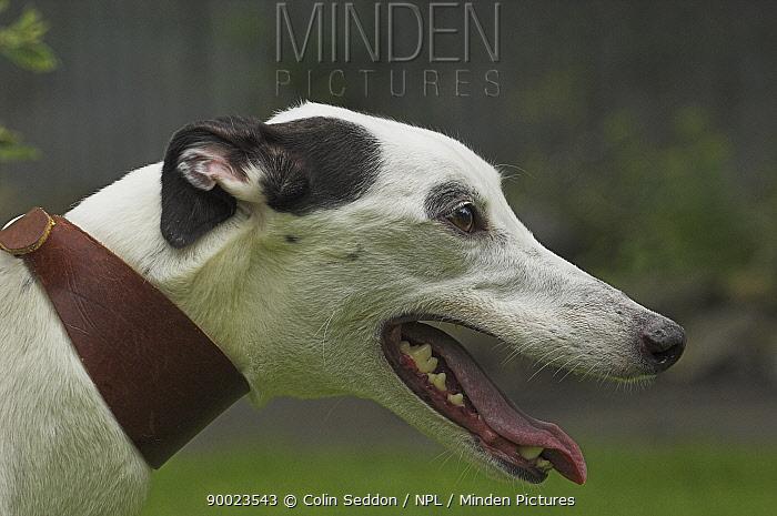 Close-up of Greyhound on lead, UK  -  Colin Seddon/ npl