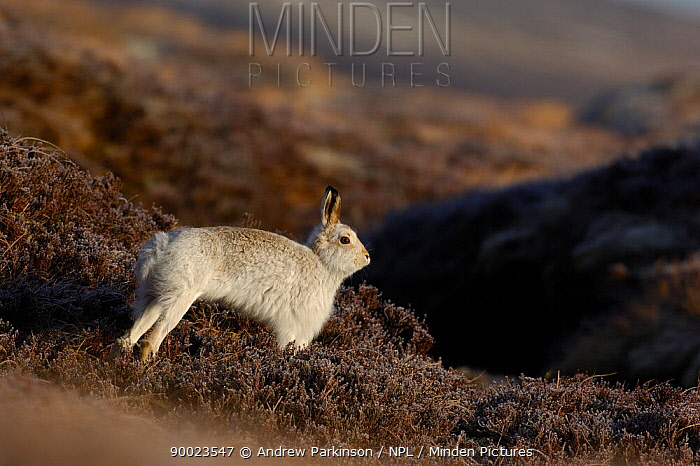 Mountain Hare (Lepus timidus) adult stretching on moorland, conspicuous in white winter coat, Monadhliath Mountains, Scotland United Kingdom  -  Andrew Parkinson/ npl