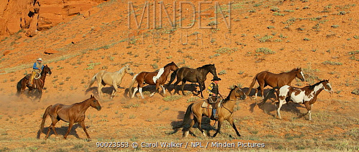 Two cowboys drive Quarter horses by red cliffs, two paints and a black, palomino, sorrel and red roan, Flitner Ranch, Shell, Wyoming, USA, model released  -  Carol Walker/ npl