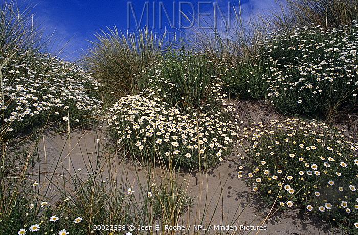 (Anthemis maritima) flowering on sand dunes, Camargue, France  -  Jean E. Roche/ npl