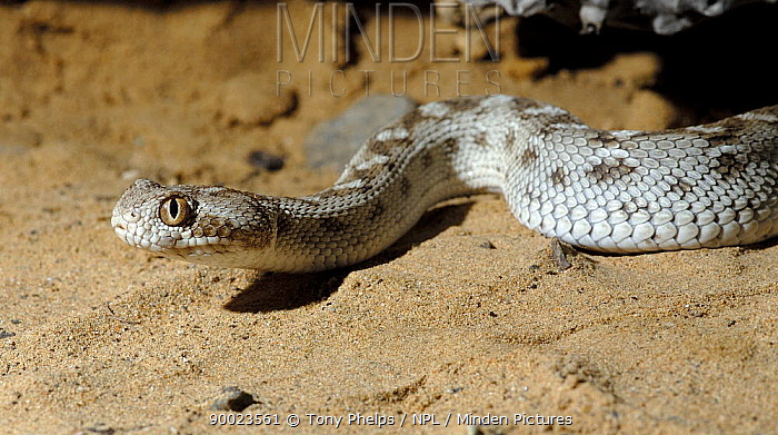 Saw-scaled Viper (Echis carinatus) Sharjah, UAE  -  Tony Phelps/ npl