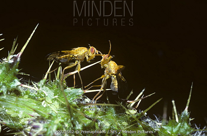 Large fruit fly (Xyphosa miliaria) two males sparring during rivalry, UK  -  Premaphotos/ npl