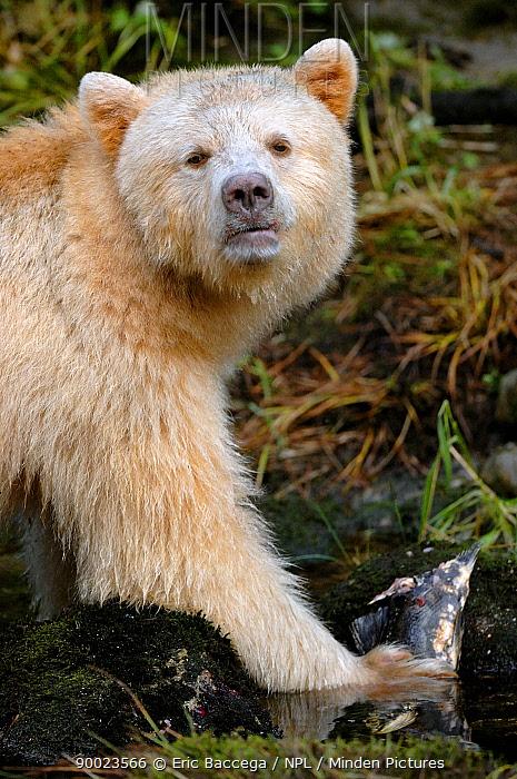 Black Bear (Ursus americanus) eating salmon, Princess Royal Island, British Columbia, Canada  -  Eric Baccega/ npl