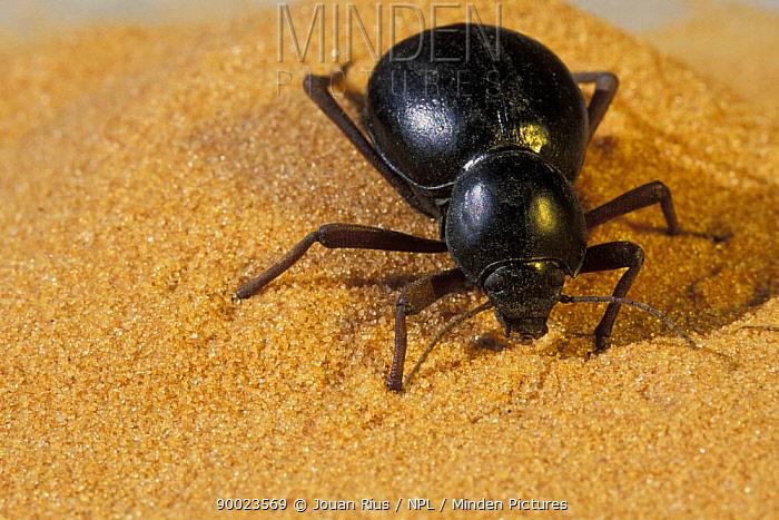 Beetle on sand dune, Namib desert, Namibia  -  Jouan & Rius/ npl