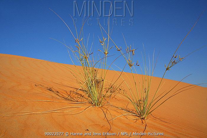 Grass in sand dunes, Liwa, UAE  -  Hanne & Jens Eriksen/ npl