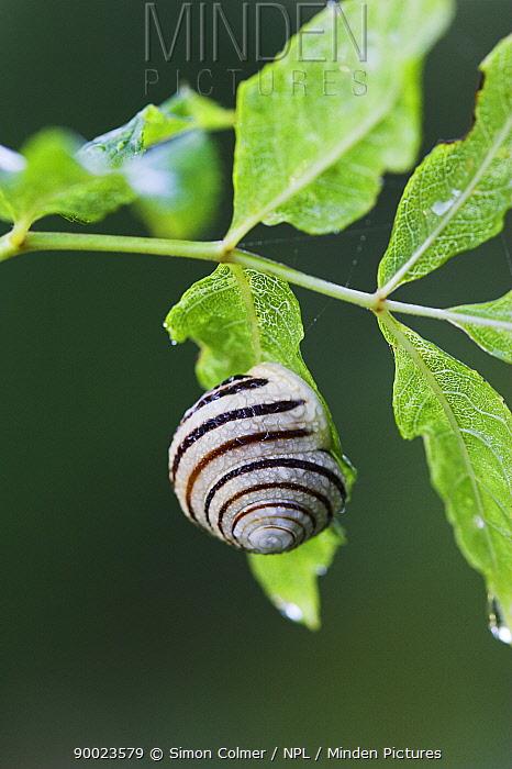 White-lipped Grove Snail (Cepaea hortensis) Sussex, United Kingdom  -  Simon Colmer/ npl