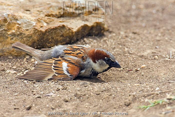 House Sparrow (Passer domesticus) male 'dust bathing', Wiltshire, United Kingdom  -  David Kjaer/ npl