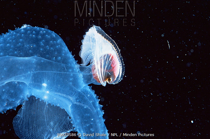 Lamarck's nautilus (Carinaria lamarki) Gulf of Mexico  -  David Shale/ npl