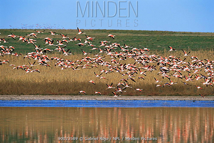 Chilean Flamingo (Phoenicopterus chilensis) flying La Pampa, Argentina  -  Gabriel Rojo/ npl