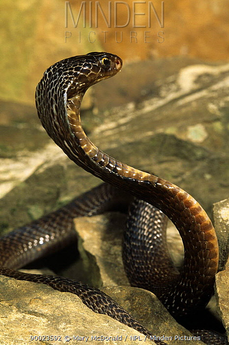 Black Pakistani cobra (Naja niger) displaying, captive  -  Mary Mcdonald/ npl
