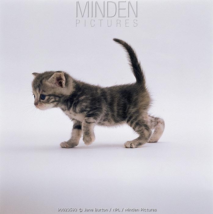 Domestic Cat (Felis catus) 4-week-old kitten  -  Jane Burton/ npl
