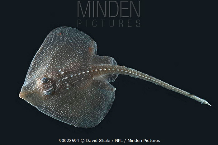 Deepsea Juvenile ray, deep sea Atlantic ocean,  -  David Shale/ npl