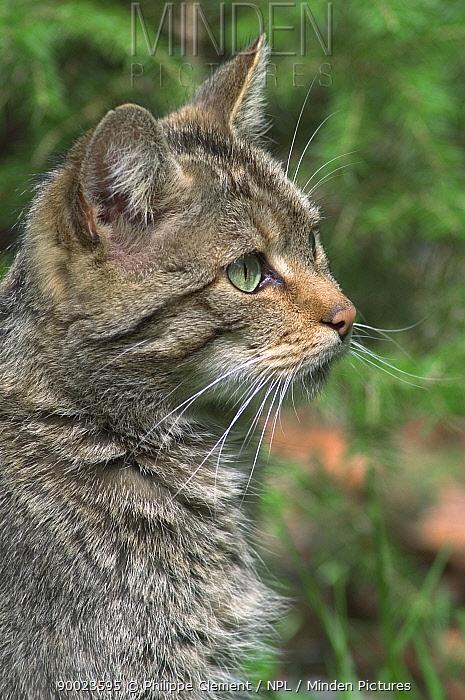 Wild Cat (Felis silvestris) portrait, Bavarian Forest, Germany  -  Philippe Clement/ npl