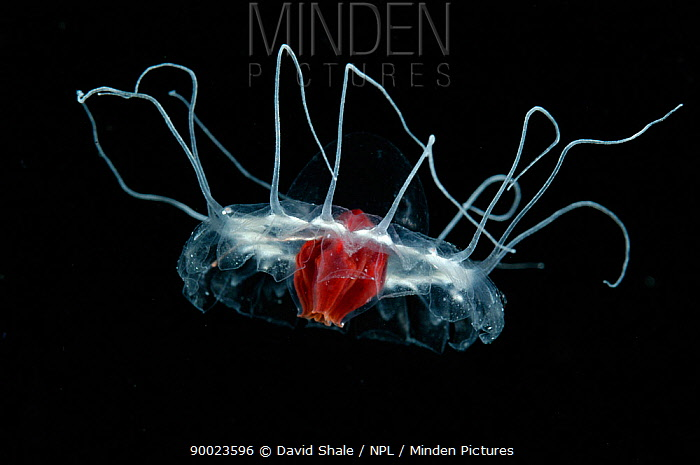 (Periphylla sp) juvenile, jellyfish, deep sea Atlantic ocean  -  David Shale/ npl