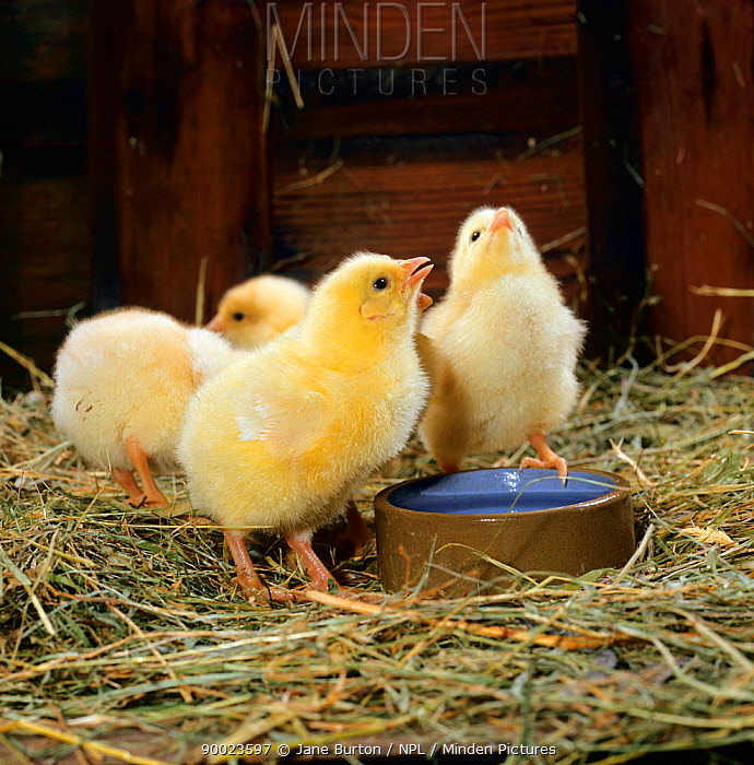 Cockerel chicks (Gallus gallus domesticus) drinking 5-days-old  -  Jane Burton/ npl