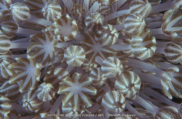 Xenia coral polyps (Xenia sp) Indo-Pacific  -  Jurgen Freund/ npl