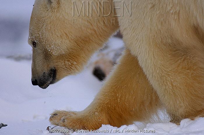 Polar Bear (Ursus maritimus) Coastal plain of the Arctic National Wildlife Refuge, Alaska  -  Steven Kazlowski/ npl