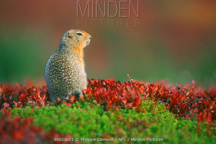 Arctic Ground Squirrel (Spermophilus parryii) on tundra in autumn Denali National Park, Alaska  -  Philippe Clement/ npl