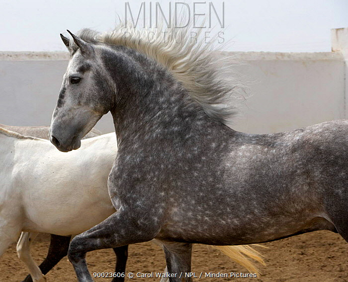 Gray Andalusian Stallion (Equus caballus) with mare in background, Ejicia, Spain  -  Carol Walker/ npl