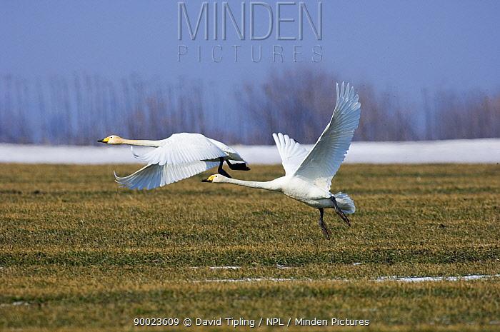 Whooper Swan (Cygnus cygnus) pair taking off, Bulgaria  -  David Tipling/ npl