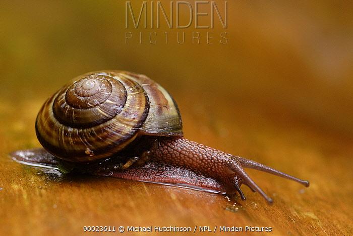 Land Snail on wood, California, USA  -  Michael Hutchinson/ npl