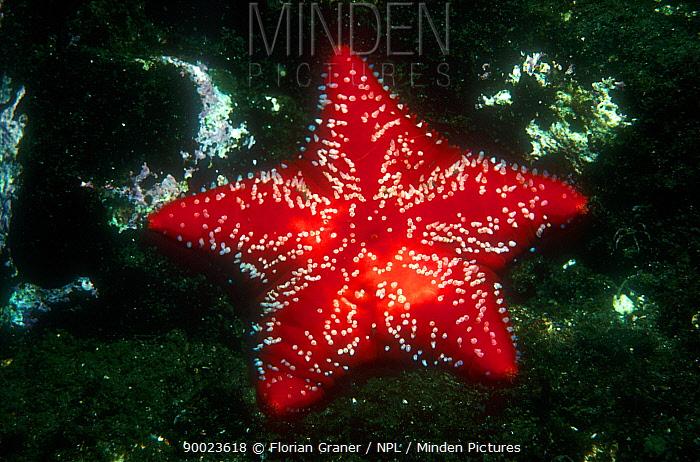 Red cushion star (Porania pulvillus) against dark background, Norway  -  Florian Graner/ npl