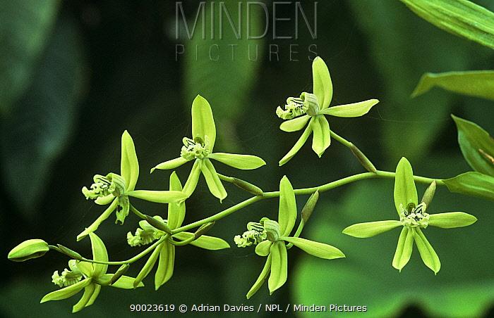 Orchid (Coelogyne mayeriana), Malaysia  -  Adrian Davies/ npl
