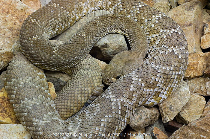 Red Rattlesnake (Crotalus ruber) coiled on rocks Arizona  -  Philippe Clement/ npl
