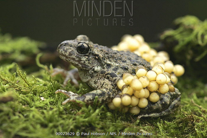 Midwife Toad (Alytes obstetricans) paternal male carrying eggs, SYorks, United Kingdom  -  Paul Hobson/ npl