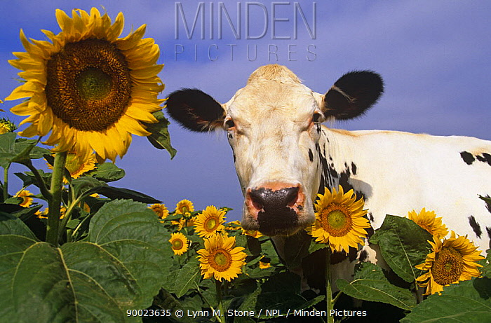 Holstein cow (Bos taurus) looking out from behind sunflowers, Northern Illinois, USA  -  Lynn M. Stone/ npl