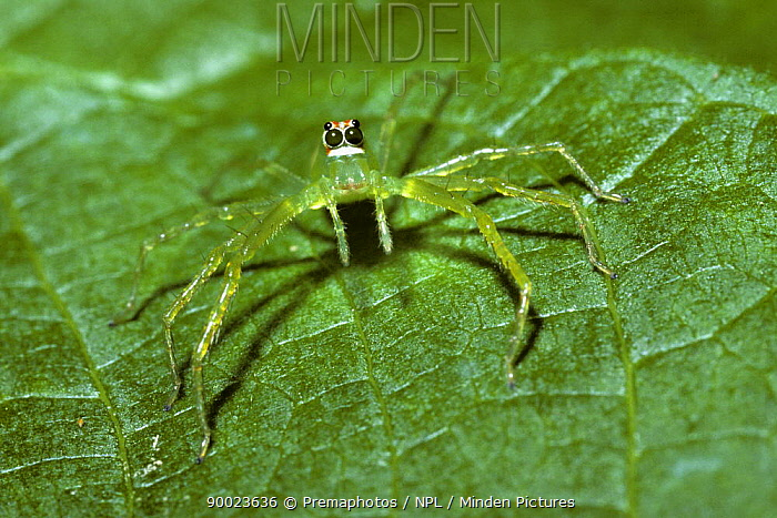 Leaf, Magnolia green jumping spider (Lyssomanes viridis) female in tropical dry forest, Costa Rica  -  Premaphotos/ npl