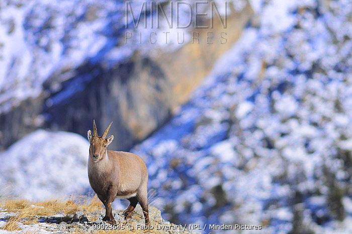 Alpine Ibex (Capra ibex) female, Gran Paradiso National Park, Val d'Aosta, Italy  -  Fabio Liverani/ npl