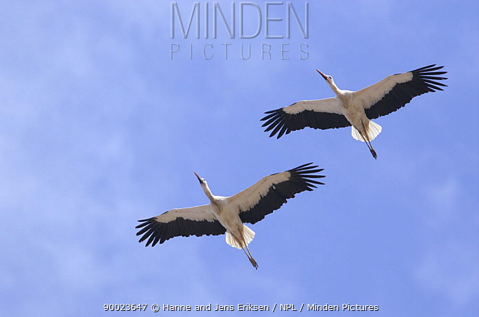 White Stork (Ciconia ciconia) two in flight, Tihama, Yemen  -  Hanne & Jens Eriksen/ npl