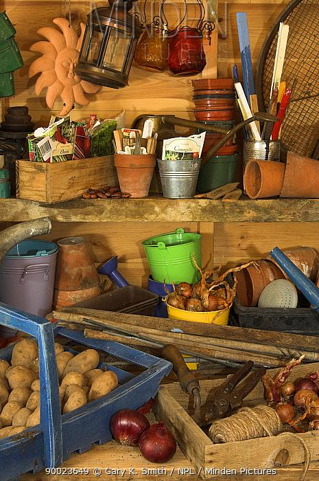 Potato (Solanum tuberosum) and onions (Allium cepa) in garden potting shed with associated gardening implements, England, United Kingdom  -  Gary K. Smith/ npl