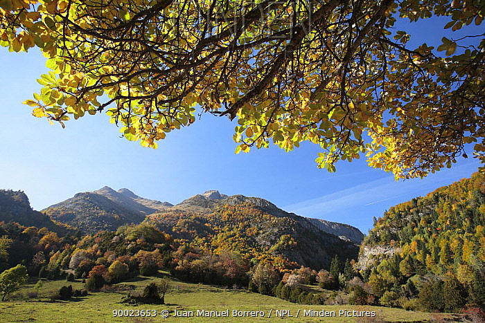 Bujaruelo Valley in autumn Ordesa y Monte Perdido National Park, The Pyrenees, Huesca, Spain  -  Juan Manuel Borrero/ npl