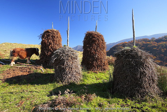 Piles of ferns in Baztan Valley, used as fertilizer when mixed with animal dung Navarra, Spain  -  Juan Manuel Borrero/ npl