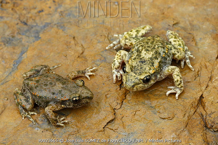 Midwife Toad (Alytes obstetricans) pair on rock, Spain  -  Jose Luis Gomez De Francisco/ np