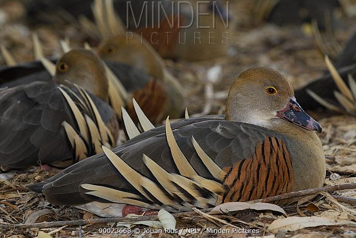 Plumed whistling duck (Dendrocygna eytoni), Queensland, Australia  -  Jouan & Rius/ npl