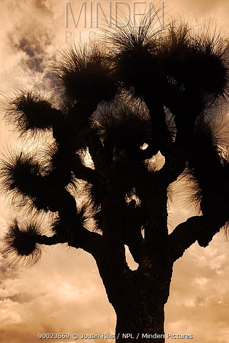 Grass tree (Xanthorrhoea glauca) silhoutted against stormy sky, Bunya Mountains National Park, Queensland, Australia  -  Jouan & Rius/ npl
