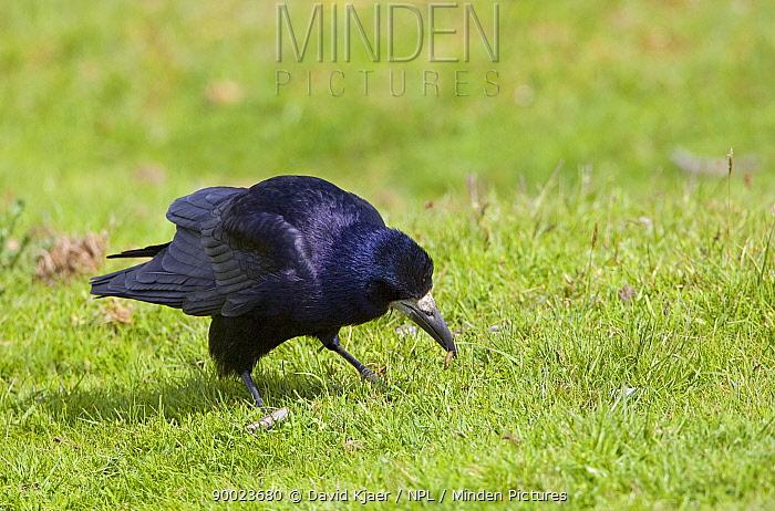 Rook (Corvus frugilegus) feeding on worm on short grass, Speyside, Scotland United Kingdom  -  David Kjaer/ npl