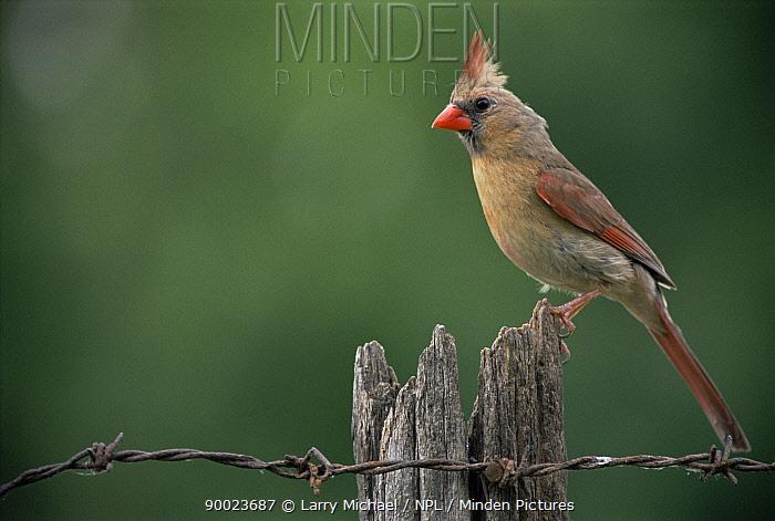 Northern Cardinal (Cardinalis cardinalis) female perching on post, Wisconsin  -  Larry Michael/ npl