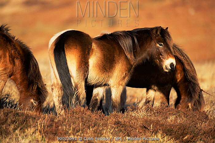 Exmoor ponies on moorland (Equus caballus) Exmoor National Park, Devon, England, UK  -  Colin Seddon/ npl