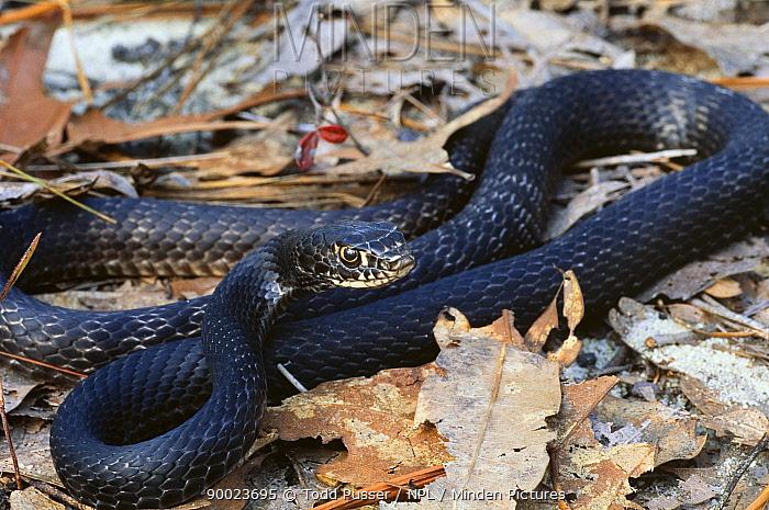 Coachwip snake (Masticophis flagellum)North Carolina, USA  -  Todd Pusser/ npl